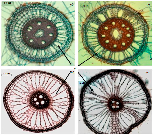 Study Of Effect Of Waterlogging On Root Anatomy Of Ragi And Rice