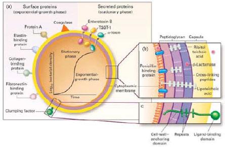 Antibiotic-resistant Staphylococcus aureus: A Challenge to ...  Staphylococcus
