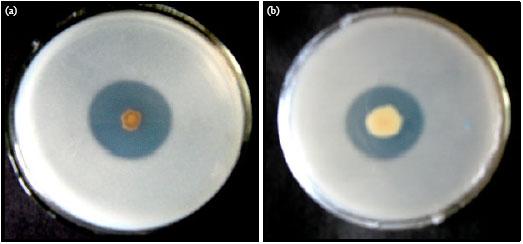 phosphate-solubilizing bacteria