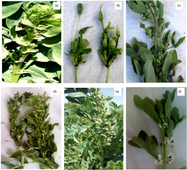 First Record Of A Phytoplasma Associated With Faba Bean Vicia Faba