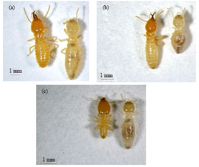 Termites Assemblages In Oil Palm Plantation In Sarawak