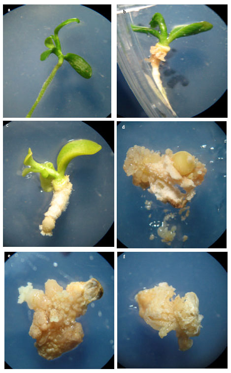 induction of somatic embryos from different explants of