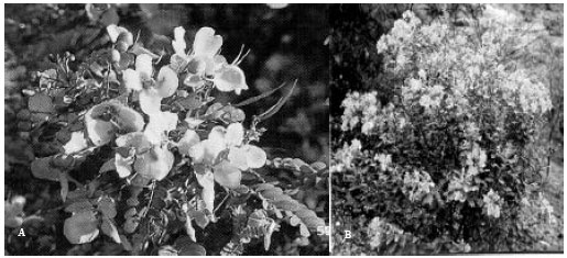 Pharmacological Actions of Cassia auriculata L  and Cissus