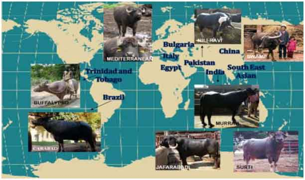 Status of Buffalo Production in Bangladesh Compared to SAARC