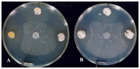 biological activity of actinomycetes Actinomycetes have characteristic biological aspects such as mycelia forms of growth that accumulates in activity shown by actinomycetes in primary screening out of 26 isolates only 10 isolates showed the.