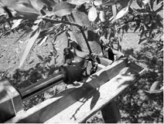 Mechanical Harvesting of Almond with an Inertia Type Limb