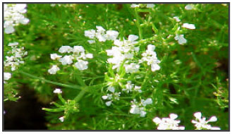 Chervil A Multifunctional Miraculous Nutritional Herb