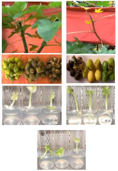 in vitro regeneration of jatropha curcas In vitro regeneration from petiole explants of non petiole explants of non-toxic jatropha curcas nitish in vitro regeneration of hagenia abyssinica 227.
