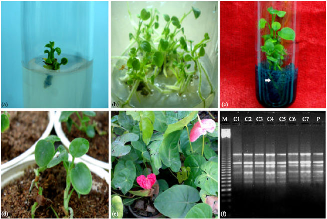 Tissue Culture of Anthurium andreanum: A Significant Review