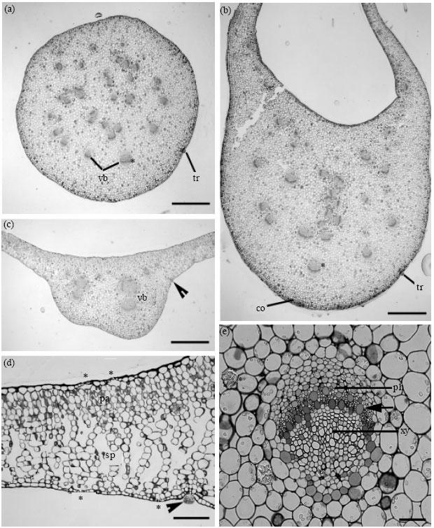 Anatomy of Vegetative Parts of Bergenia ciliata (Haw.) Sternb ...