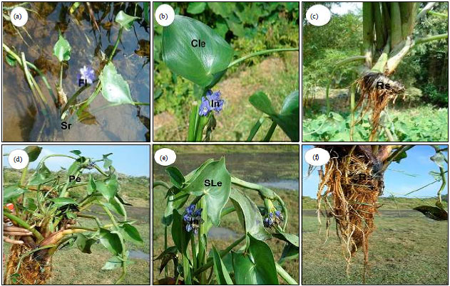 Comparative Anatomical Characteristics of Emergent Aquatic Herbs