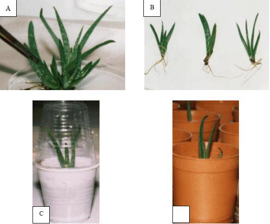 Micropropagation Of Aloe Vera L Grown In South Iran Scialert Responsive Version