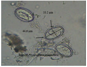 Physaloptera Eggs Images - Reverse Search