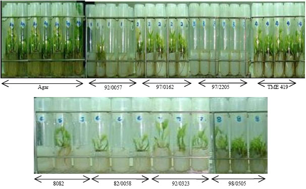 thesis on micropropagation of potato I|manual: micropropagation and hardening sweetpotato tissue culture plantlets preface sweetpotato is an important food and cash crop in sub-saharan africa (ssa), because it is tolerant to adverse growing conditions and has a short growing period.