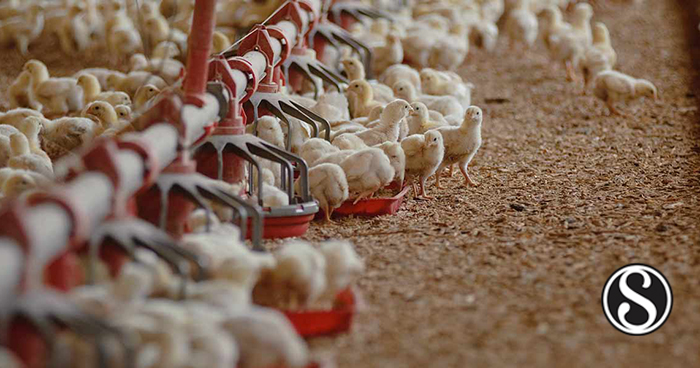 Impact of Feeding Fermented Wet Feed on Broiler Breeder Production