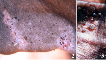 Image for - Tick parasites of domestic animals of Kerala, South India