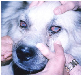 Image for - A Case Report of Atypic Chronic Superficial Keratitis (Pannus) in a Sheepdog