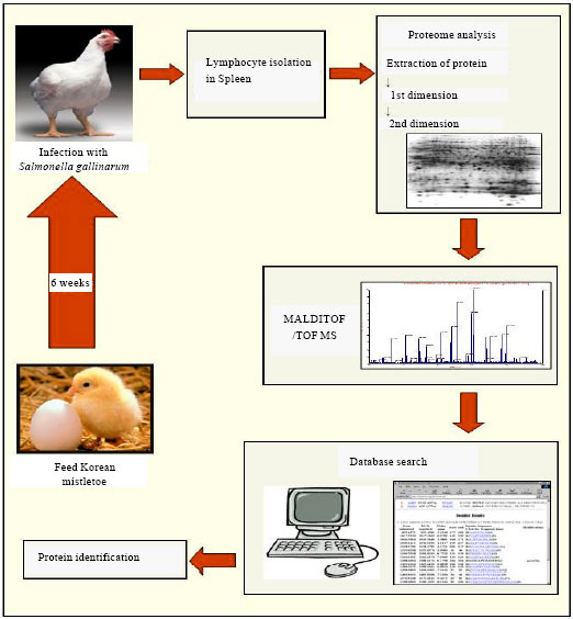 Image for - Biomarkers Identified by Proteomic Study of Spleen Lymphocyte from  Broilers    Infected with Salmonella gallinarum after Feeding Korean Mistletoe (Viscum  album coloratum)