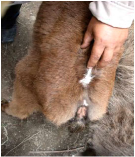 Image for - The Case Report of Taillessness in Iranian Female Calf (A Congenital Abnormality)