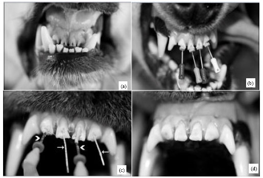 Image for - Comparison of the Efficacy of Gutta-percha and Thermafil in Endodontic Treatment in Dogs