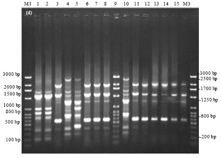 Image for - Epidemiological Characterization of Salmonella gallinarum Isolates of Poultry Origin in India, Employing Two PCR Based Typing Methods of RAPD-PCR and PCR-RFLP