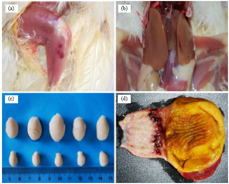 Image for - Pathological Study of SPF Chickens Experimentally Infected with a Chinese IBDV Strain BC6/85
