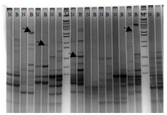 Image for - Screening Genes Related to Breast Blister (Keel Cyst) in Chicken by Delta Differential Display