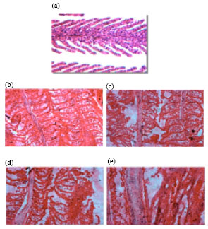 Image for - Histological Changes Induced by Ammonia and pH on the Gills of Fresh Water Fish Cyprinus carpio var. communis (Linnaeus)
