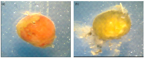 Image for - Incubation and Hatching of Tachypleus gigas (Muller, 1785) Eggs in Sand and Water Media