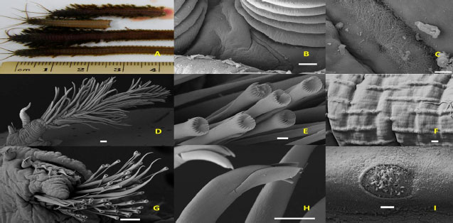 Image for - Checklist of Polychaetous Annelids in Malaysia with Redescription of Two Commercially Exploited Species
