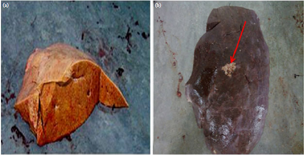 Image for - Effect of Aflatoxin B1 (AFB1) Residues on the Pathology of Camel Liver