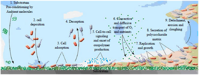 Image for - Chemical and Ultrastructural Characteristics of Mycobacterial Biofilms