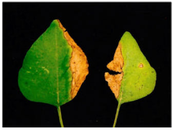 Image for - First Report of Curvularia lunata Associated with Leaf Spot of Amaranthus spinosus