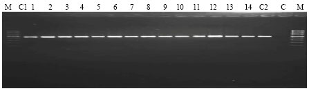 Image for - Rapid Identification and Differentiation of Xanthomonas oryzae pv. oryzae Strain with Primer 16S-23S rDNA from the Rice Fields in Peninsular Malaysia