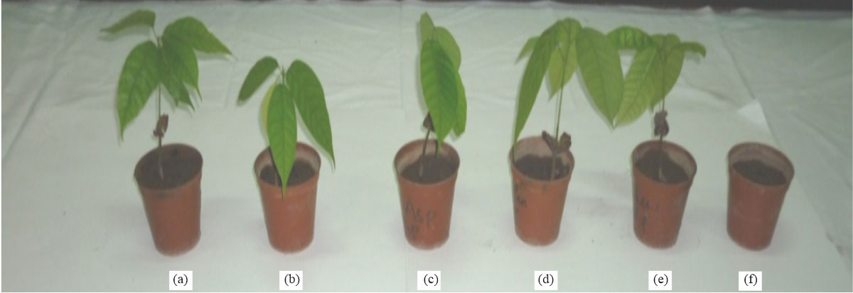 Image for - Biocontrol of Seed Decay, Seedling Damping-off and Plant-Growth Promotion of Cocoa Seedlings with Antagonistic Microbes