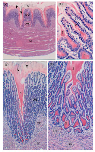 Image for - Histomorphological Studies on the Stomach of the Japanese Quail