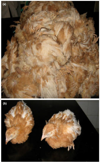 Image for - Economic Impact of Recurrent Outbreaks of Gumboro Disease in a Commercial Poultry Farm in Kano, Nigeria