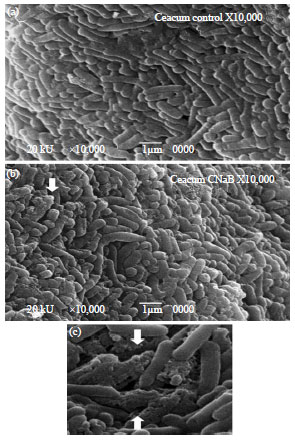 Image for - Effect of Na-butyrate Supplementation on Electromicroscopy, Virulence Gene Expression Analysis and Gut Integrity of Experimentally Induced Salmonella enteritidis in Broiler Chickens
