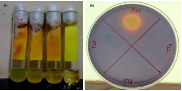 Image for - Isolation of Fluorescent  Pseudomonas spp. from  Diverse Agro-Ecosystems of India and Characterization of their PGPR Traits