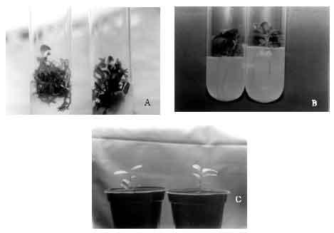 Image for - Adventitious Bud Induction and Plant Regeneration in Epicotyl Segments of Bakrai (Citrus reticulata BlancoxC. limetta Swing.)