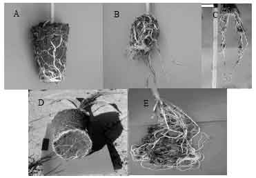 Image for - The Effect of Transplant in Sweet Maize (Zea mays L.) II. Container Root Restriction
