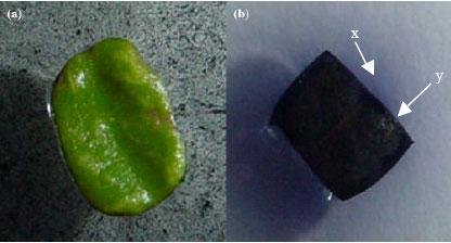 Image for - Callus Induction from Leaf Explants of Melaleuca alternifolia
