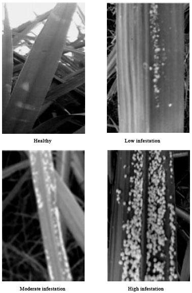 Image for - Ceratovacuna lanigera (Zehnt) Induces Biochemical Changes in Sugarcane