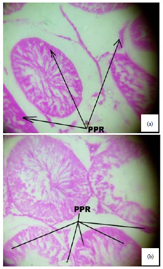 Image for - Spermiographic, 2 and 3-dimensional Quantitative Analysis of Testicular Tissues of Rat Submitted to Citrus paradisi Waste Extract and Cisplatin-induced Cytotoxicity