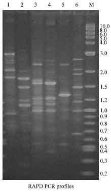 Image for - Typing of Haemolytic and Antibiotic Resistant Aeromonas hydrophila Isolated from Raw Milk of Coimbatore, South India