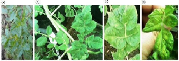 Image for - Antiviral Activity of Lactoferrin against Potato virus x In vitro and In vivo