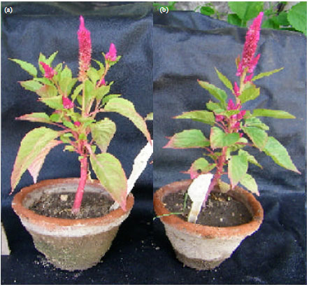 Image for - Induction of Mutations in Celosia argentea using Dimethyl Sulphate    and Identification of Genetic Variation by ISSR Markers