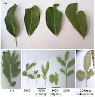 Image for - Effect of some Chemical Mutagens on the Growth, Phytochemical Composition and Induction of Mutations in Khaya senegalensis