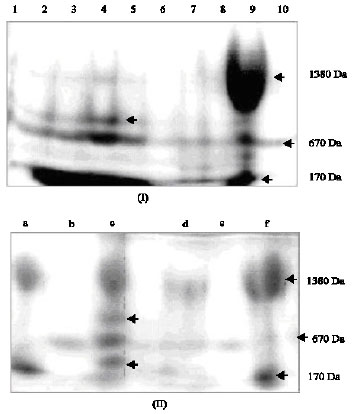 Image for - A Polyacrylamide Gel Electrophoretic Approach of Fingerprinting Soil Polyphenols