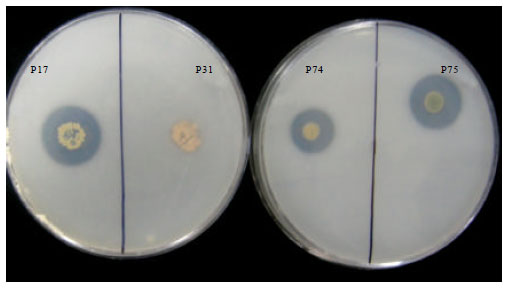 Image for - Phosphate Solubilization Potential of Fluorescent Pseudomonas spp. Isolated from Diverse Agro-Ecosystems of India